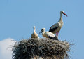 Storks in nest on background blue sky Stock Photo