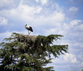 Storks nest in the tree Royalty Free Stock Photo