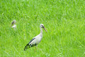 Storks in paddy field Stock Images