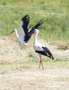 Storks rare birds in the field Stock Photos