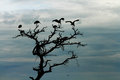 Storks silhouette in dead tree a group of silhouetted against the darkening sky stand the top of a Stock Photo
