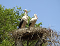 Storks in the spring of build their nests close to the people Royalty Free Stock Image
