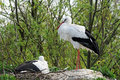 Storks in their nest in avifauna bird park in netherlands Stock Images