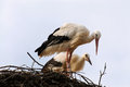 Storks in their nest young Royalty Free Stock Images