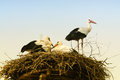 Storks in their nest young Stock Photography