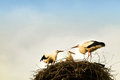 Storks in their nest young fighting for meal Royalty Free Stock Photos