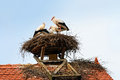 Storks in their nest young a on the top of a roof Royalty Free Stock Image