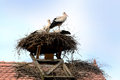 Storks in their nest young a on the top of a roof Royalty Free Stock Images