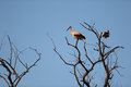 Storks in a tree Royalty Free Stock Photo