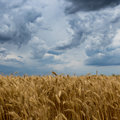 Storm clouds over wheat field. Royalty Free Stock Photo