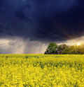Storm flowers of oil in rapeseed field with dark ominous clouds Royalty Free Stock Photo