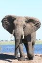 Storming bull elephant Royalty Free Stock Photo