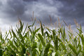 Stormy sky over cornfield storm clouds brewing tops of stalks in Stock Image
