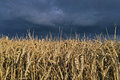 Stormy sky over field of wheat Royalty Free Stock Photo