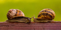 The story of two snails meeting first touch attraction Stock Images
