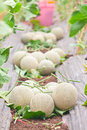 Stow of harvested japanese melons photograph on shade light in a melon orchard while ready for relocate Royalty Free Stock Images
