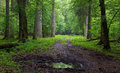 Straight ground road leading across forest misty late spring deciduous stand with old trees by Stock Photography
