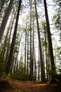 Straight tall trees in the forest Royalty Free Stock Photo