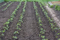 Straight tomato seedlings placed in line Royalty Free Stock Photography