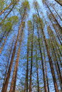Straight towering trees under blue sky Stock Photo