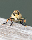 Strange fly face off looking resting on a wooden railing Stock Photo