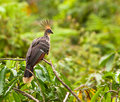 The strange Hoatzin Stock Photo