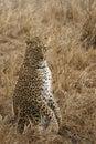 Strange Leopard Pose Royalty Free Stock Photo