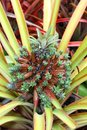 Strange pineapple in Thailand Royalty Free Stock Photo
