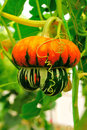 Strange pumpkin close up in green house dome Stock Images