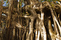 Strangler fig Stock Images