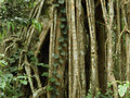 Strangler fig Stock Image
