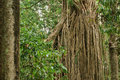 Strangler Fig Royalty Free Stock Photos