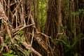 Strangler Fig Royalty Free Stock Images