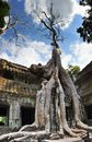 Strangler fig at ta prohm angkor cambodia overgrows parts of temple Royalty Free Stock Photo