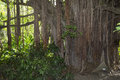 A strangler fig tree the encroaches on the surrounding rainforest Royalty Free Stock Photography