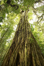 Strangler Fig Tree in rain forest Royalty Free Stock Photo