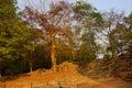 Strangler fig tree roots grow on ruins of an ancient wall angkor wat cambodia Royalty Free Stock Photography