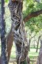 Strangler tree in sri lanka forest Stock Photos