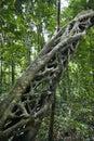 Strangler vine in forest. Royalty Free Stock Photos