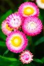 Straw flower (Everlasting) Stock Photography