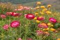 Straw flower or everlasting blossoming in phuhinrongkla national park in phitsanulok thailand Stock Image