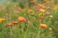Straw flower or everlasting blossoming in phuhinrongkla national park in phitsanulok thailand Royalty Free Stock Images