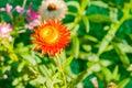 Straw flower or everlasting flower Stock Image