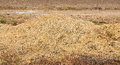 Straw on ground in the cornfield Stock Image