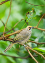 Straw headed bulbul difficult to find pycnonotus zeylanicus in thailand Royalty Free Stock Photo