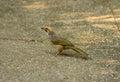 Straw headed bulbul pycnonotus zeylanicus beautiful in thai forest Stock Photos