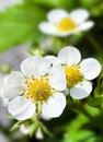 Strawberrie blossom in the garden Royalty Free Stock Image