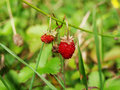Strawberrie two wild strawberries growing in the grass Stock Image