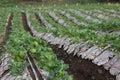 Strawberries beautiful farm at chiangmai thailand Stock Image