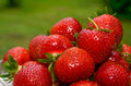 Strawberries closeup of fresh at green background Royalty Free Stock Images